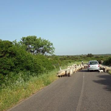Schafe, Ziegen, Kühe, auf Sardinien läuft alles rum