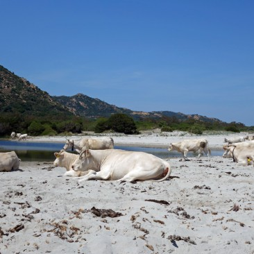 Wiederkäuen am Strand, sardische Kühe wissen wie es geht