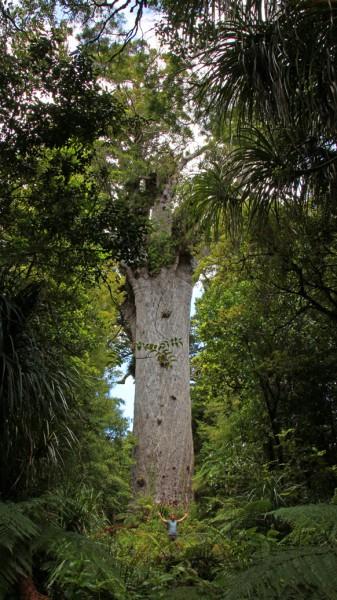 Tāne Mahuta - Ein riesen Kauribaum